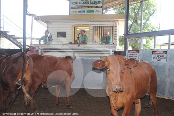 Cattle being sold at the Scone saleyards.