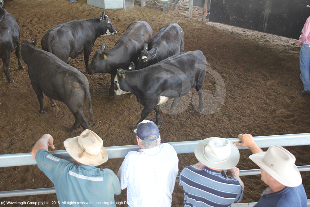 Cattle being sold at the Scone sale yards