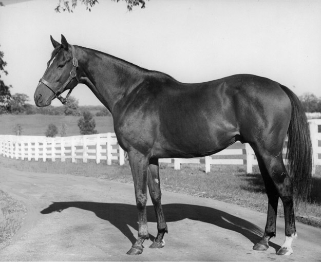 A stallion shot of Shannon at Spendthrift Farm, c.1951. Photo courtesy of Keeneland-Meadors.