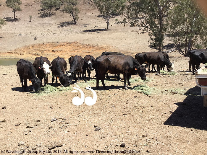 Cattle being hand fed during the drought.