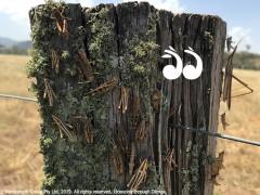 Locusts Blow Into the Upper Hunter